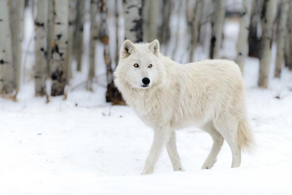 Yamnuska Wolfdog Sanctuary 03