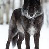 Yamnuska Wolfdog Santuary 02