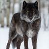 Wolfdog, Cochrane, Alberta
