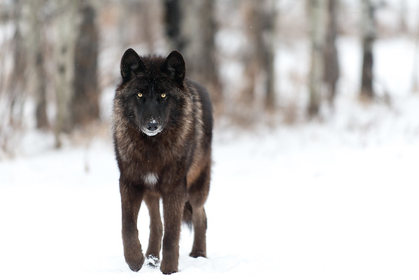 Yamnuska Wolfdog Sanctuary 01