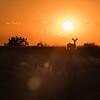 Prairie Mule Deer