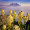 Mt. St. Helens Bear Grass Rising Above the Clouds