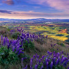 Palouse Lupine Dreams
