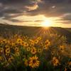 Golden Flowers of the Western Sun