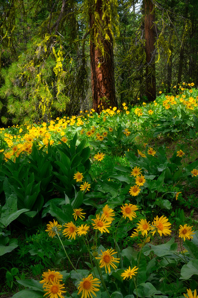 A Hike in a Balsam Root Forest
