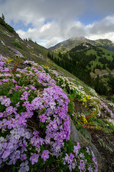 The Way of the Phlox