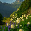 Central Cascades Wildflower Dreams