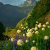 Central Cascades Wildflower Dreams