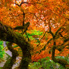 In the Arms of a Japanese Maple