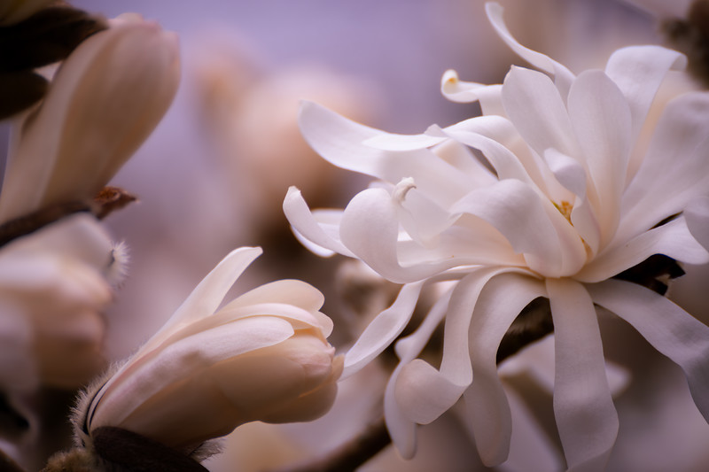 Star Magnolia Blossoms and Flower