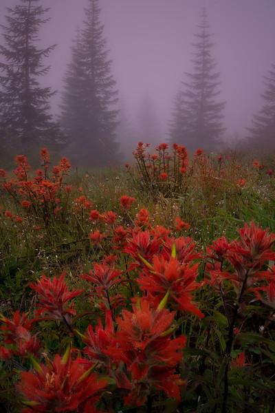 Indian Paint Brush: Quiet Morning Mist