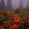 Indian Paint Brush: Quiet Morning Mist