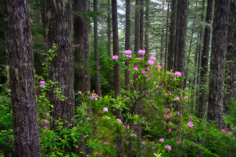 Rhododendrons in the Olympic Forest
