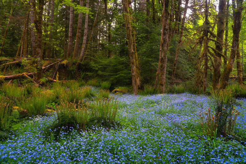 Forget Me Nots of the Forest