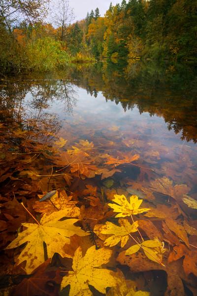 This image is of leaves submerged underwater at Lake Fenwick , Kent Washington