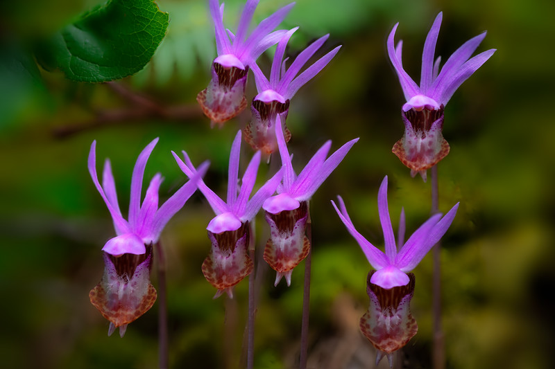 The Dance of the Calypso Orchids