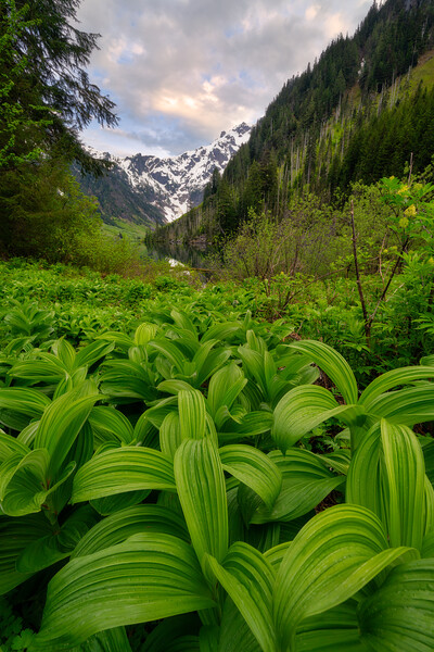 Corn Lilies Reaching Out to Goat Lake