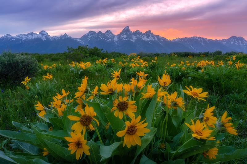 Grand Teton Fields of Gold