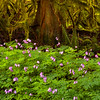 Bleeding Hearts of the Forest