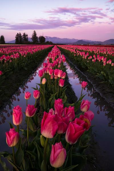 Pink Tulip Paradise Lanes