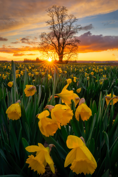 Daffodils Under the Tree of Spring's Golden Light