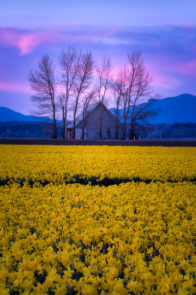 Skagit Valley Afterglow: Daffodils and Bare Trees