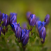 Mountain Bog Gentian Flowers