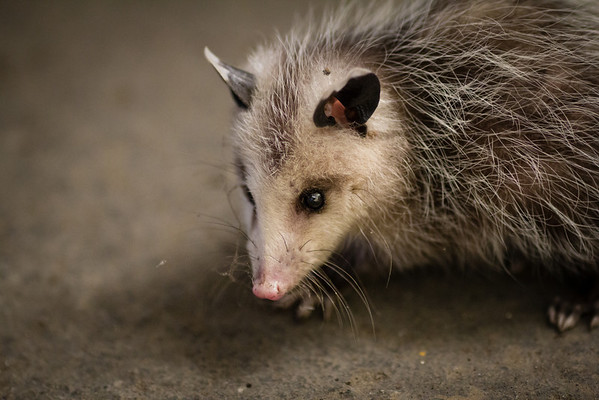 Lost Baby Possum