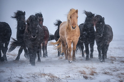 King of the Herd - Iceland