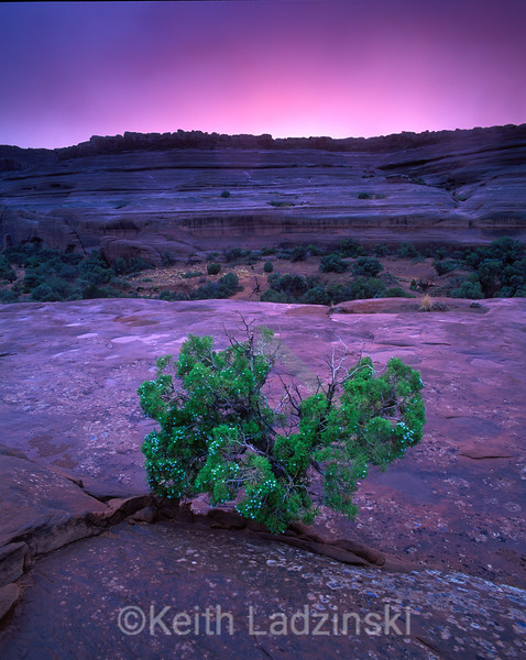 A lone juniper growing out of the sandstone in the fore ground of a colorful sunset in Puttermans Canyon near Moab Utah