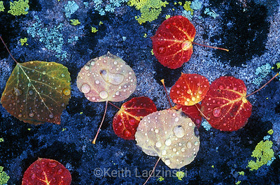 Detail shot of a cluster of colorful fallen aspen leaves covered in early morning dew drops laying on a lichen coverd rock in Autumn in Kebler Forest, Colorado.