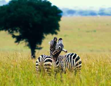 Plains Zebras, Uganda