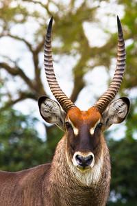 Waterbuck, Uganda