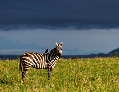 Plains Zebra with Bird, Uganda