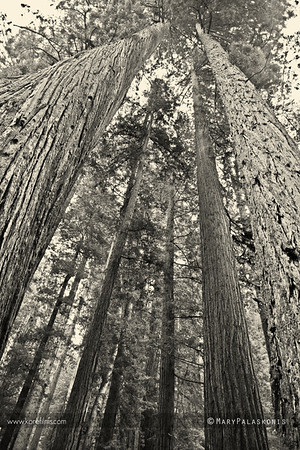 Photo by Mary Palaskonis  Redwoods