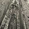 Photo by Mary Palaskonis<br /> <br /> Redwoods