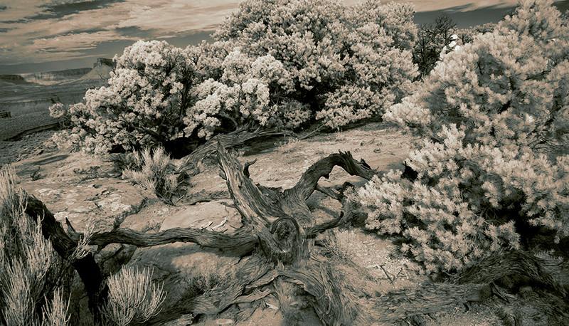Juniper Snag, Mossback Butte, Utah