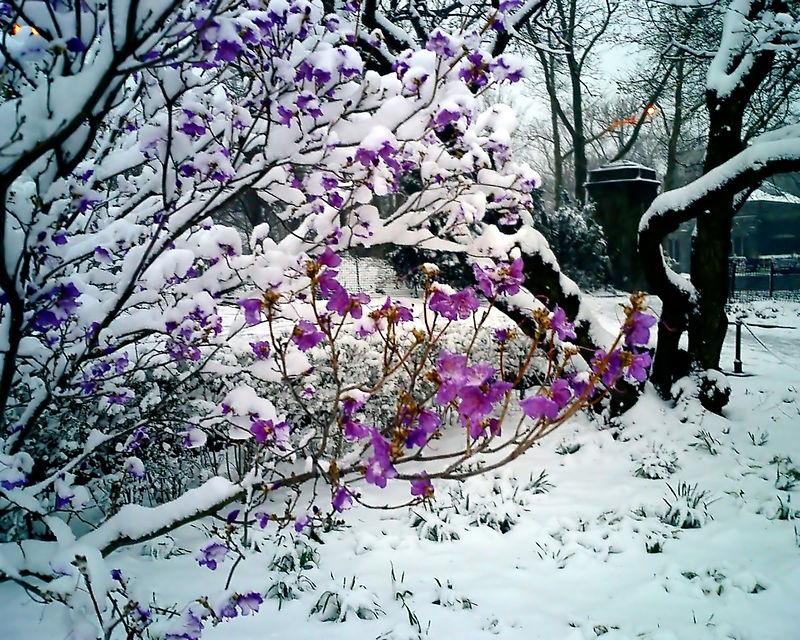 Purple Against the Snow (natural colors)