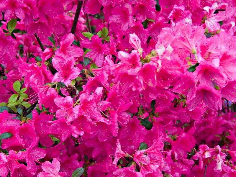 Pink Blloms