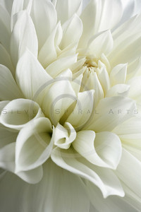 white dahlia and light