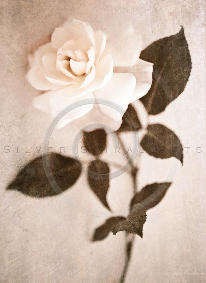 Garden Rose Flower White Sepia Floral