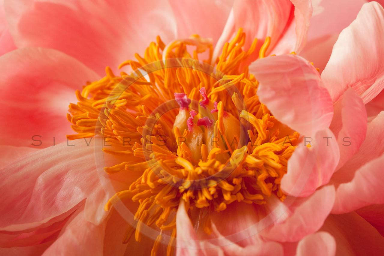 Peony Blossom background