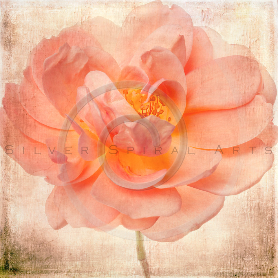 Garden Rose Flower Peach Salmon Pink Floral Painted Background