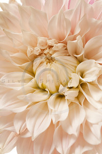 Dahlia Blossom background