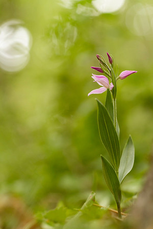 Cephalanthere rouge, Cephalanthera rubra