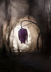 Fritillaria burtonii