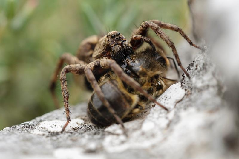 Trochosa ruricola (Rustic wolf spider) devorant une abeille.