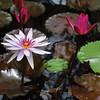Pond Lillies