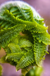 Fiddlehead Fern in Spring_WV_photos by Gabe DeWitt_April 26, 2008-54