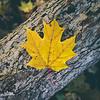 MapleLeavesInForest_002